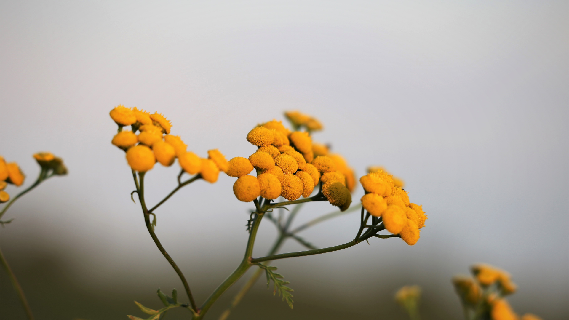 Kocanka piaskowa – fitoterapia dróg żółciowych